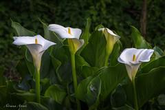 1 maggio 2016 (adrianaaprati) Tags: beauty tenderness douceur park flowers outdoor calla callaarum arumlily waterarum zantedetschia elegance garden