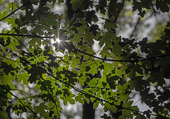 Breakthrough! (stokeyouth1) Tags: fieldmaple acercampestre acer soapberry nativebritishtree arboreal treecanopy tree woodland autumn autumnal autumntones autumnleaves stokeyouth1 nikon d7100 nikond7100 micronikkor60mm28 england uk britain staffordshire sapindaceae leaves greenleaves shadows highlights deephayes deephayescountrypark stokeontrent potteries denford churnetvalley nature natural wildlife floraandfauna green deciduoustree starburst sunlight palmateleaves maple wood staffordshiremoorlands