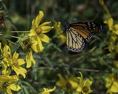 MonarchButterfly_SAF2345 (sara97) Tags: danausplexippus butterfly copyright©2017saraannefinke endangered insect missouri monarch monarchbutterfly nature photobysaraannefinke pollinator saintlouis flight inflight