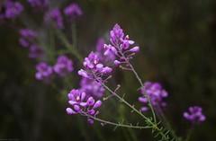 Comesperma ericinum (dustaway) Tags: polygalaceae comesperma comespermaericinum pyramidflower flowers purpleflowers australianshrubs australianflora australianflowers kuringgaichasenationalpark sydney nsw australia sydneysandstoneflora