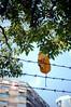 leaves (Steve only) Tags: contax t contaxt carl zeiss sonnar 2838 3828 38mm f28 tstar rf rangefinder kodak gold 200 gb200 film epson gtx970 v750snaps leaves