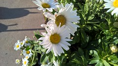 WP_20171005_16_30_08_Pro (PureView Life) Tags: nokia lumia 1520 nokialumia nokialumia1520 lumia1520 pureview carlzeiss nature flower flowers color white whiteflower