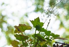 Rooftop Gutter Weed (Orbmiser) Tags: nikkor28105mmf3545afd bokeh d90 fall nikon oregon plant portland weeds