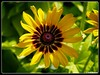 Black-eyed Susan (PEN-F_Fan) Tags: dallasarboretumandbotanicalgarden dallas texas unitedstates raw microfourthirds rudbeckiahirta denverdaisy blackeyedsusan dxoviewpoint dxoopticspropostprocessinginon1photoraw2018beta on1photoraw border postprocessing macro flower bright yellow
