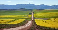 Overberg Canola Road (Panorama Paul) Tags: paulbruinsphotography wwwpaulbruinscoza southafrica westerncape greyton overberg riviersonderendmountains canola yellowflowers longroad nikond800 nikkorlenses nikfilters