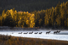 Elk crossing the Snake River just after sunrise, Grand Teton National Park, Wyoming (diana_robinson) Tags: wildlife animalsinthewild wild nature elk crossingthesnakeriver snakeriver sunrise grandtetonnationalpark wyoming aspentrees fall autumn