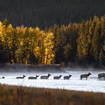 Elk crossing the Snake River just after sunrise, Grand Teton National Park, Wyoming thumbnail