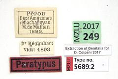 Gyrinus peruvianus Regimbart, 1907 (Biological Museum, Lund University: Entomology) Tags: coleoptera gyrinidae regimbart gyrinus peruvianus gyrininae mzlutype05689