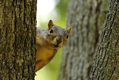 Squirrel, Cantigny Park. 46 (EOS) (Mega-Magpie) Tags: canon eos 60d nature wildlife outdoors cute squirrel cantigny park wheaton dupage il illinois usa america tree