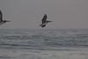 IMG_5157 (armadil) Tags: mavericks beach beaches californiabeaches bird birds flying pelican pelicans