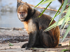 Macaco-capuchinho-de-peito-amarelo / Golden-bellied capuchin (Cebus xanthosternos) (Marina CRibeiro) Tags: portugal lisbon lisboa zoo monkey macaco primata primate macacocapuchinho capuchin