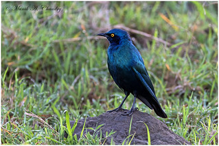 The Yellow-eyed Starling