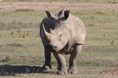 20170620_4507_Nakuru_Rhinoceros blanc (fstoger) Tags: wildlife viesauvage nakuru kenya safari rhinoceros afrique africa