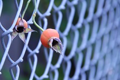 Resilient in October (Haytham M.) Tags: stroll walk outdoor plant fence october bud