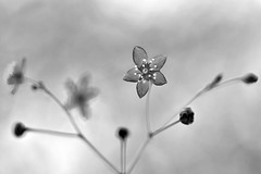 jewels of Opar (1crzqbn) Tags: mono macro depthoffield flower bokeh naturaleza blackandwhite bw bn jewelsofopar flowers dof