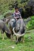 Vietnam - Lao Cai (peigneux.laura) Tags: laocai children animal enfant vietnam