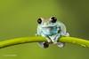 Ruby-eyed Tree Frog D50_8011.jpg (Mobile Lynn) Tags: amphibian frog nature rubyeyedtreefrog captive fauna wildlife bournemouth england unitedkingdom gb coth specanimal coth5 ngc sunrays5 npc