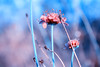 (frogghyyy) Tags: flower bokeh nature macro macrophotography canoneos1000d details blue