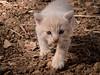 2073 - Macchiolino (Diego Rosato) Tags: macchiolino little stain gatto cat kitten giallo yellow animale animal pet walking camminare fuji x30 rawtherapee