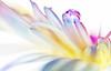 Alone (Anirban.243) Tags: drop droplet macro canon water petal white pink flash tamron bloom flower yellow drops cs5 raw tamron90mm blue soft gerbera