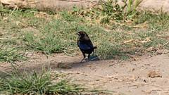 Bronzed Cowbird (Stefan Heyne) Tags: rotaugenkuhstärling bronzedcowbird molothrusaeneus costarica bird
