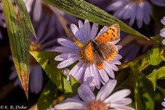 Small Copper - Lycaena phlaeas - Kleiner Feuer Falter (Kenray44) Tags: butterfly smallcopper lycaenaphlaeas kleinerfeuerfalter winteraster hohenroder auenlandschaftoberweser lowersaxony germany rinteln nikond300s freehand freihändig