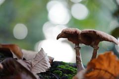 Together (Ir3nicus) Tags: sonsbeck nordrheinwestfalen deutschland de niederrhein natur nature outdoor ausen afsvrmicronikkor105mm128gifed nikon d700 dslr fullframe fx germany pilz mushroom fungi fungus macro makro nahaufnahme closeup leaves blätter moos moss bokeh