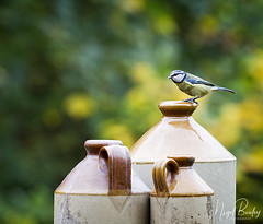 BLUE TIT 20 (Nigel Bewley) Tags: bluetit cyanistescaeruleus garden backyard ealing london england uk w5 wildlife naturalhistory greatoutdoors wildlifephotography endangeredwildlife bird birds avian birdlife distinguishedbirds birdwatcher creativephotography artphotography unlimitedphotos october october2017 nigelbewley photologo 1dmkiv jug jugs stoneware