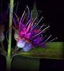 swampflame (tonyanthonye) Tags: tonyanthonye tonyanthony pocono wildflowers