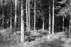Mod øst ... (holtelars) Tags: asahi pentax spotmatic spotmaticii smctakumar takumar 55mm f18 film 35mm analog analogue ilford fp4 ilfordfp4 100iso xtol bw blackandwhite monochrome filmphotography filmforever ishootfilm larsholte homeprocessing öxabäck firs wood trees sweden sverige