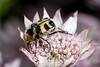 On the Round Table - _TNY_1258 (Calle Söderberg) Tags: macro canon canon5dmkii canonef100mmf28usmmacro canoneos5dmarkii raynox dcr250 flash meike mk300 glassdiffusor insect beetle skalbagge coleoptera scarabaeidae bladhorning beebeetle humlebagge mimicry yellow black pink pastel astrantia major greatmasterwort masterwort stjärnflocka flower eating blackbackground trichius fasciatus f19