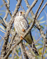 American Kestrel (tresed47) Tags: 2017 201710oct 20171019extonparkmisc birds canon7d chestercounty content extonpark fall folder october pennsylvania peterscamera petersphotos places season takenby us