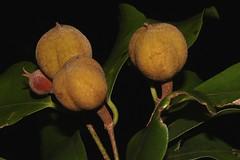 Dissiliaria baloghioides (andreas lambrianides) Tags: dissiliariabaloghioides euphorbiaceae lancewood blackheart australianflora australiannativeplants australianrainforestplants australianrainforests australianrainforestfruitsandseeds australianrainforestfruits australianrainforestseeds arffs greenarffs arfp qldrfp dryarf qrfp brownarffs subtropicalarf
