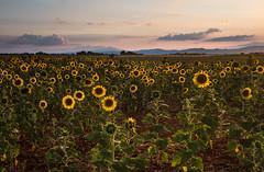 A Sea Of Sunflowers (MrBlackSun) Tags: sunflower sunset shower thunder storm summer lavender field valensole provence france nikon d810