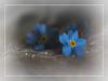 Forget-me-not (Smiffy'37) Tags: 7dwf macro forgetmenot blue flower vignette border closeup fineart