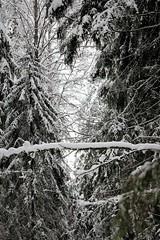 588 (www.ilkkajukarainen.fi) Tags: nuuksio espoo visit happy life winter snow ice cold centralpark suomi100 eu europa scandinavia suomi suomifinland100 lumi ensi kansallispuisto finland finland100 jaana metsä forest puu thre