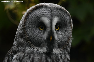 Great grey owl - Zoo Amneville