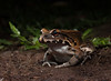 Smoky-jungle-frog (Corey Hayes) Tags: smokyjunglefrog frog ecuador jungle wild rainforest night