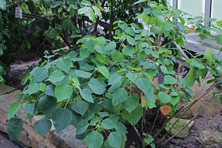Homalanthus populifolius Graham - BG Berlin