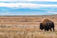 Bison bull on the Great Plains