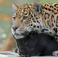 Jaguar Rica and cub artis BB2A7617 (j.a.kok) Tags: jaguar jaguarcub jaguarwelp blackjaguar zwartejaguar artis animal mammal cat kat pantheraonca zoogdier dier zuidamerika southamerica predator specanimal