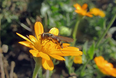 Fly and flower (TJ Gehling) Tags: insect diptera fly syrphidae hoverfly plant flower asterales asteraceae calendula communitygarden fairmontpark centennialpark elcerrito
