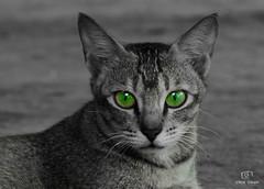 Ready for Halloween? (Click Geek) Tags: incrediblenature india clickgeek cat naturallight blackandwhite monochrome colorhighlight green animal aperturemode nikon d5200 eyes goa handheld kitlens outdoors wallpaper pet petlover halloween