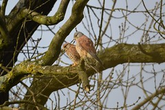 Kestrel (James L Taylor) Tags: carsington water 301017 nature bird birding anima falco tinnunculu kestrel