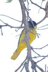 BVR_3908 (Bird Brian) Tags: blackheadedoriole