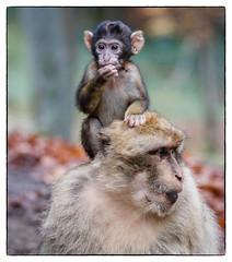 mum is the best (Dieter Gora) Tags: wildparkdaun berberaffen jungtier mum mama