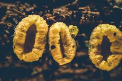 PB030020-1 (A 51) Tags: macro nature lumix fungus spores