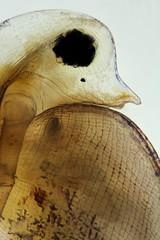 Daphnia (mr.sansibar) Tags: cladocera crustacea daphnia plankton focusstacking olympusbh2 pondlife zooplankton photomicrography microscopy polarizedlight water flea