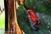 Strawberry poison dart frog (Jesse Piercy) Tags: wildlife costa rica central america animal closeup strawberry poison dart frog amphibian blue jeans jump colours rainforest nature
