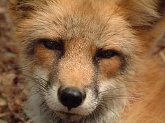 #fox https://t.co/qPa4x6K0CZ (hellfireassault) Tags: foxes fox httpstcoqpa4x6k0cz q foxlovebot november 07 2017 0400pm